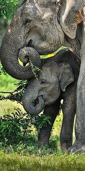Minneriya National Park - Elephants-01_v