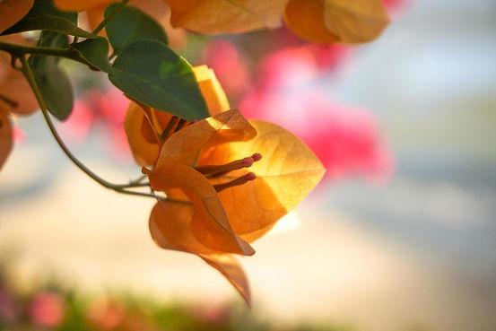 yellow-magenta-bougainvillea-flowers-fre