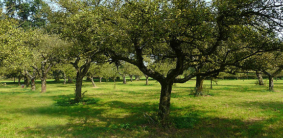 fruitboomhaard snoeien