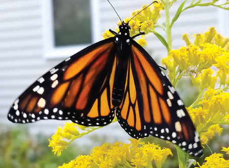 The Plight of the Monarch Butterfly