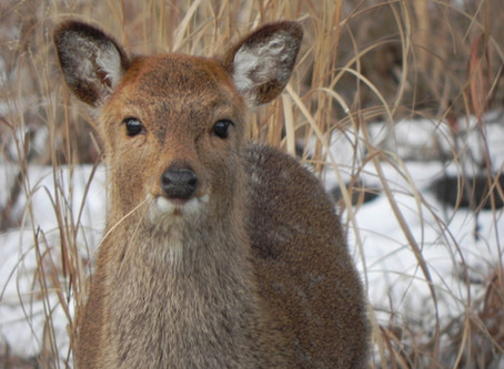 Sika Deer: The interesting origins of one of Maryland's most elusive mammals