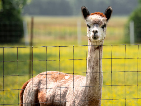The Ins and Outs of an Alpaca Farm