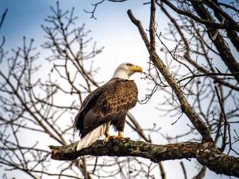 5 Places to Spot a Bald Eagle