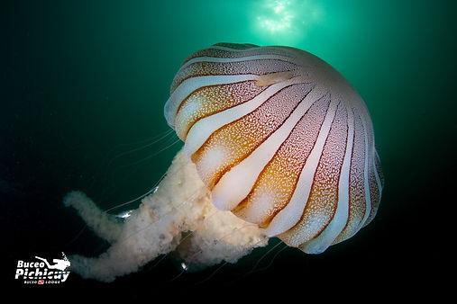 Buceo Medusa