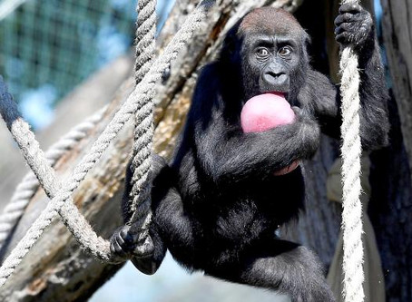 The Sunday Times: Young male zoo gorillas face the chop