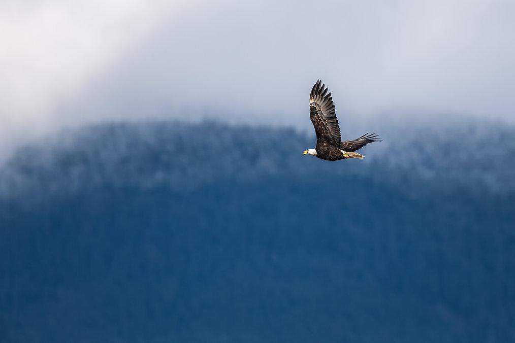 Soaring Bald Eagle near Harrison British