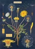 Dandelion Anatomy