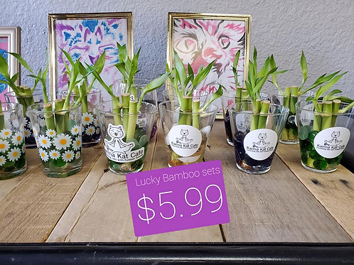 Lucky Bamboo in Cup
