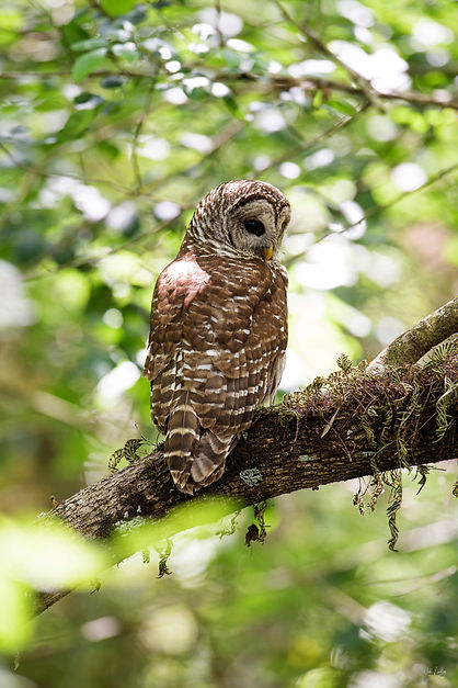 barred owl_8419_2.jpg