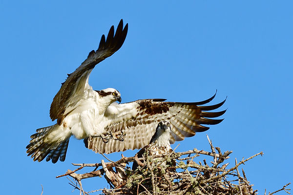 Osprey Landing.jpg