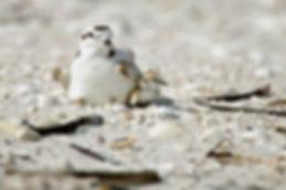 snowy plover, adult, chick, sanibel island, florida