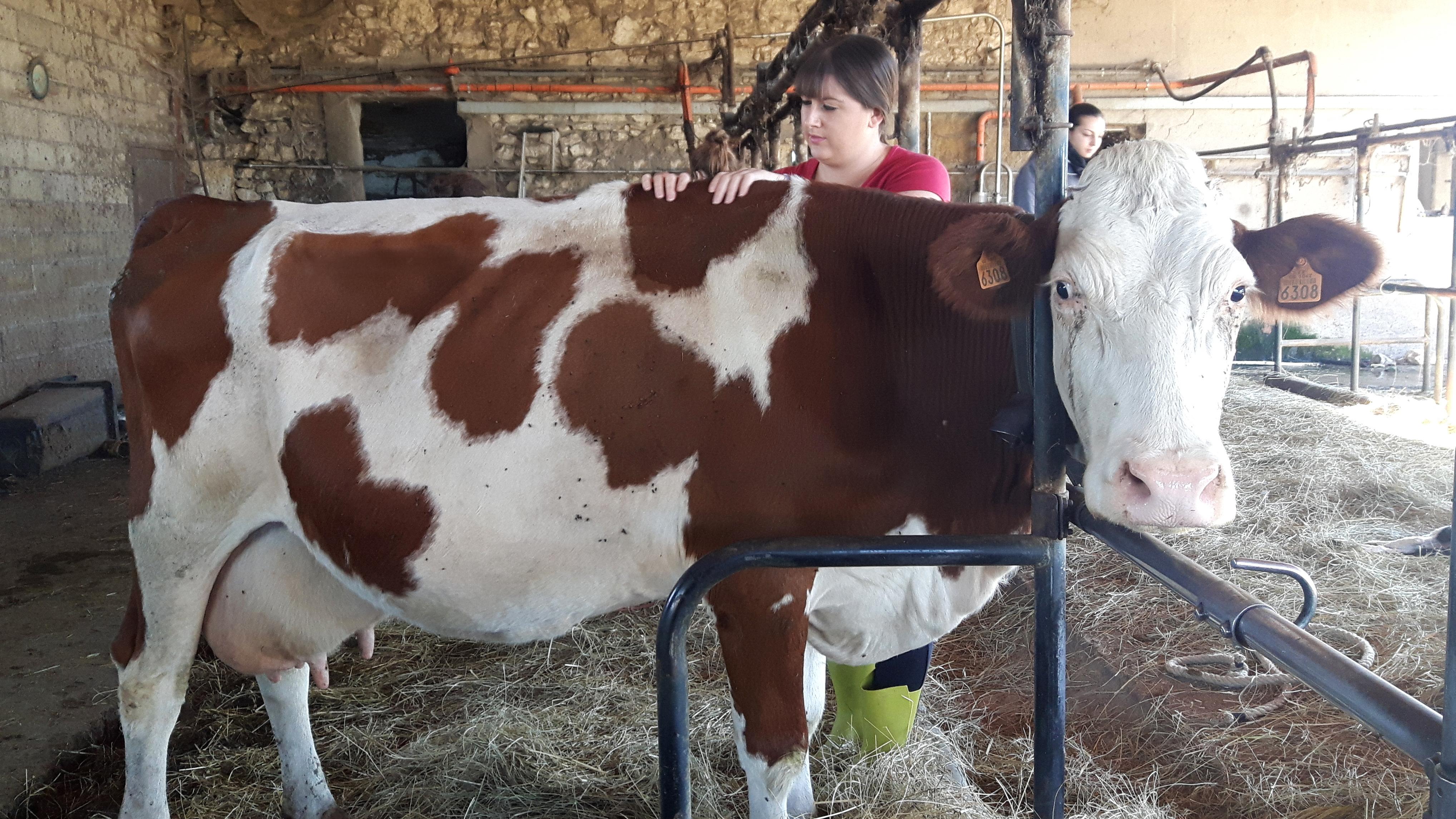 Ostéopathie bovine