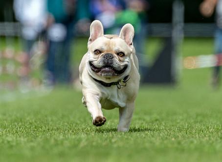 Qualzuchten: Wenn Hunde für die Schönheit leiden müssen