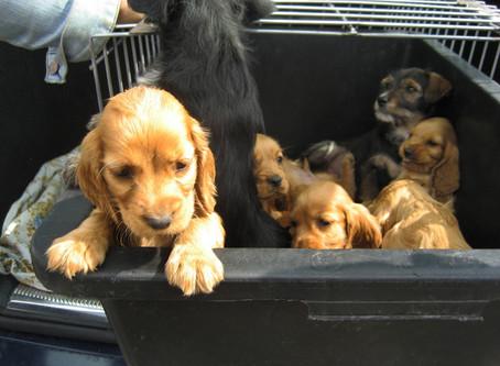 Illegaler Welpenhandel Das Leid der Welpen: Wie kleine Hunde verschachert werden