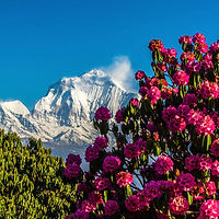 1200px-Dhaulagiri_and_Rhododendron._edit