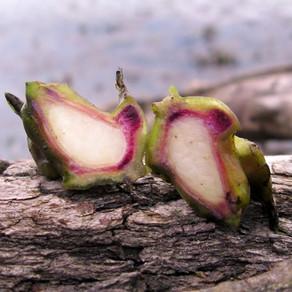 Подробное писание водяного ореха чилим