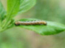 Гусеница смородинной моли