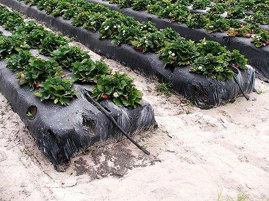 Агроволокно как способ выращивания клубники