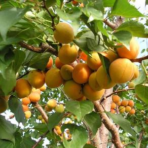 Правильный уход за абрикосом весной, летом и осенью