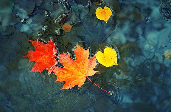 autumn maple leaves in puddle. autumn atmosphere image. fall season concept. bright leaves