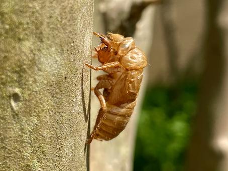 Cicadas in Chinese Medicine