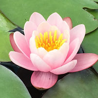 Acupuncture - lotus-flower
