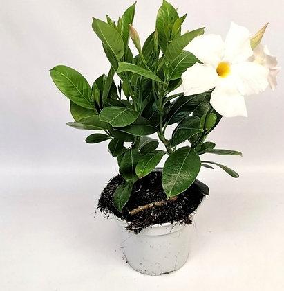 DIPLADENIA - Jasmin du Brésil blanc - pot de 1.5 l