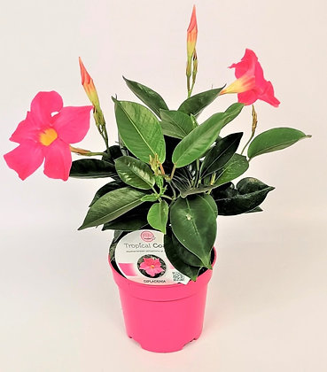 DIPLADENIA - Jasmin du Brésil rose - pot de 0.8 l