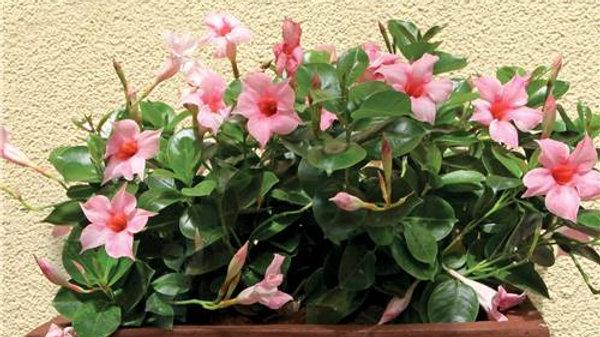 DIPLADENIA, Jasmin du Brésil rose par 6 plants