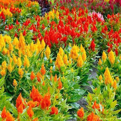CELOSIA - barquette de 6 plants
