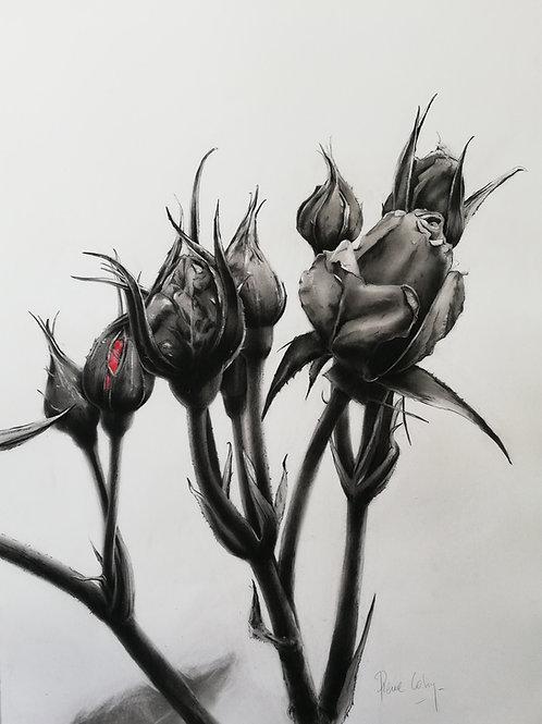 Pierre Colin, Roses noir & rouge