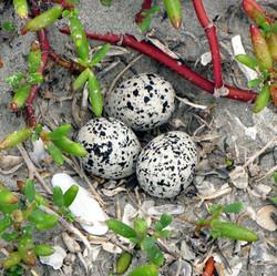 Snowy Plover nest