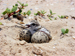 One-day-old Wilson's Plover chick