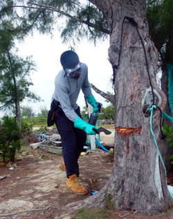 Treating Invasive Casuarina trees