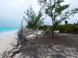 Invasive pine eroding Bahamas beach