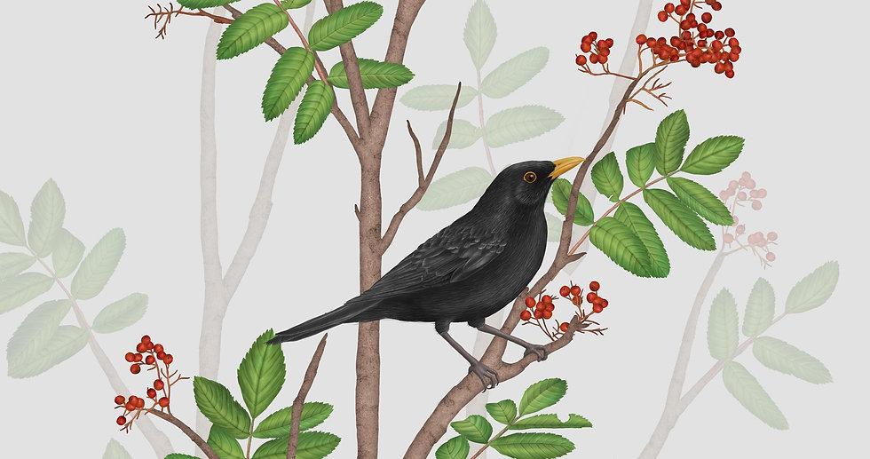BLACKBIRD ON ROWAN TWIG