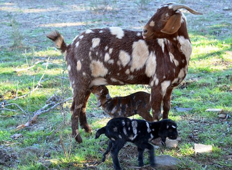 Kidding & Lambing Roundtable Discussion