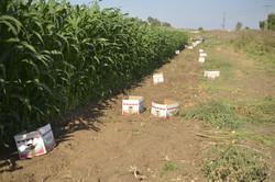 תירס אורגני חוות שורשים