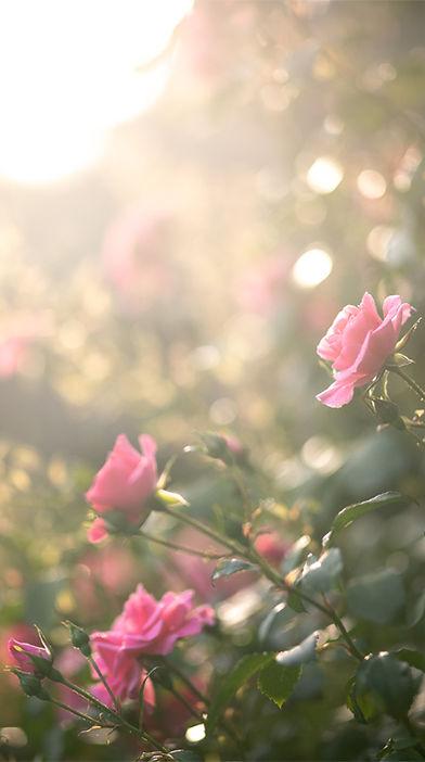 rose-background-port3.jpg