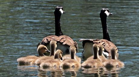 geese-2494952_1920_edited.jpg