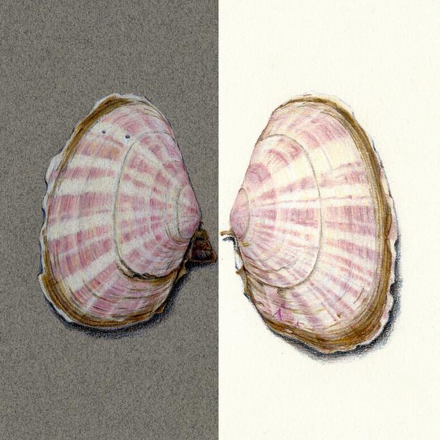 California sunset clam (Gari californica)