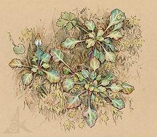 太平山-倒卵葉裂緣花-150dpi.jpg