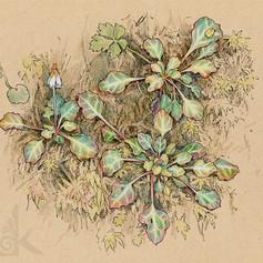 Shortia rotundifolia var. rotundifolia倒卵葉裂緣花
