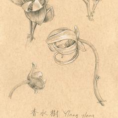 香水樹 Ylang ylang