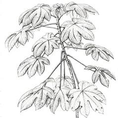 A young Cecropia tree