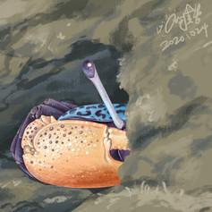 Gelasimus tetragonon 四角招潮蟹