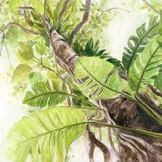 拎樹藤 (Epipremnum)