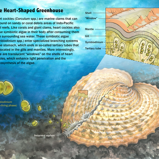 Schematic illustration of heart cockle and its symbiotic algae