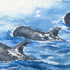 Risso's dolphin (Grampus griseus, 花紋海豚)