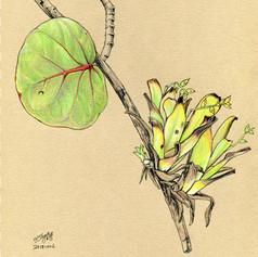 Bromeliad on a seagrape tree